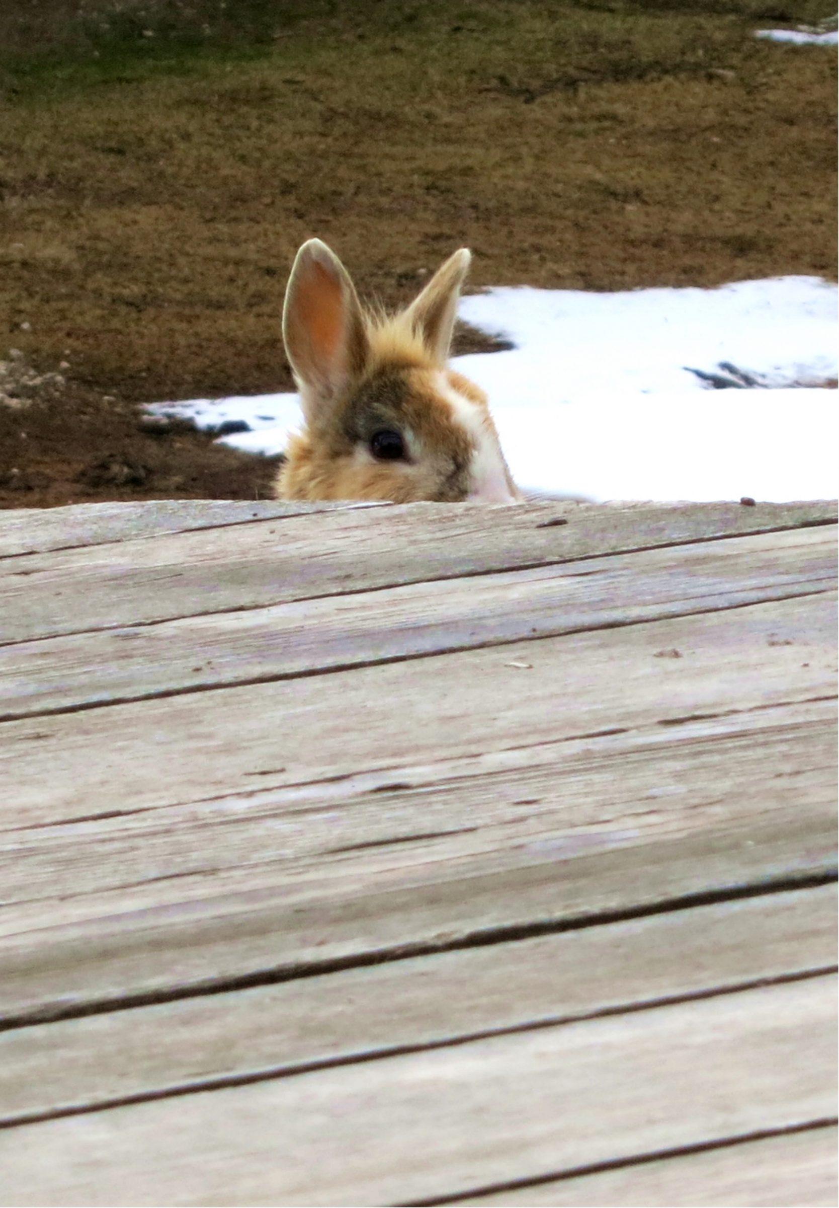 Geislergruppe-kaninchen